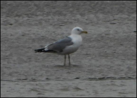 Caspian Gull 220220 1
