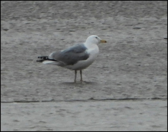 Caspian Gull 220220 2