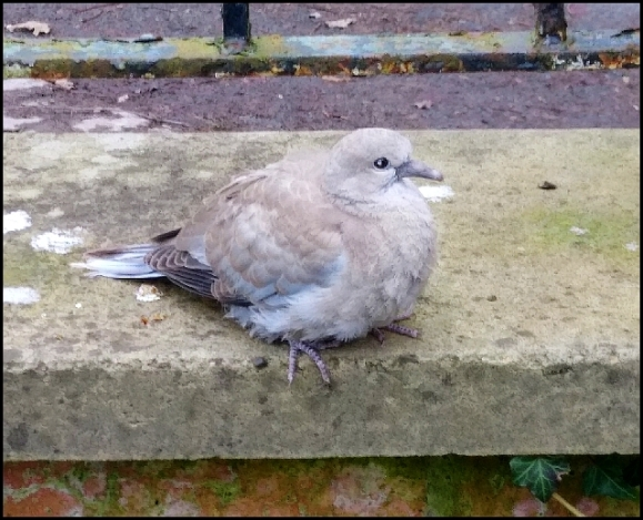 Collared Dove 230220