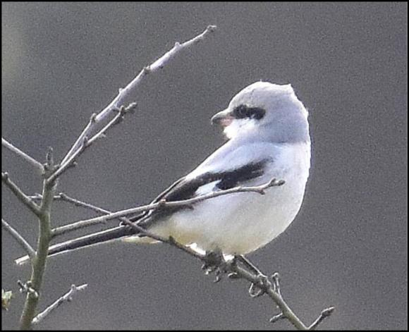 Great Grey Shrike 030220