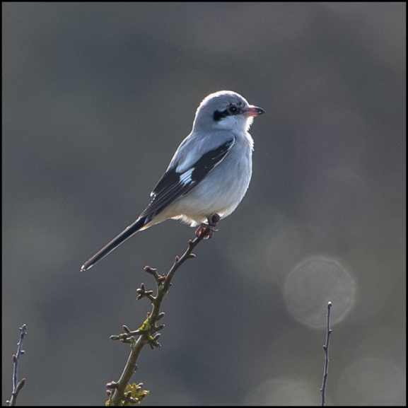 Great Grey Shrike 130220 1