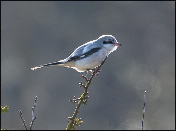 Great Grey Shrike 130220 2