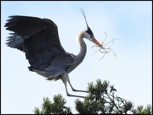 Grey Heron 110220