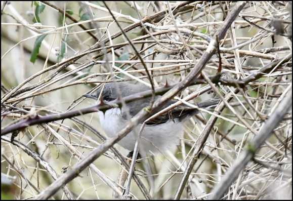 Lesser Whitethroat blythi 310120
