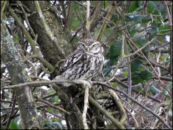 Little Owl 180220
