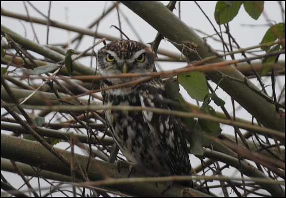 Little Owl 240220