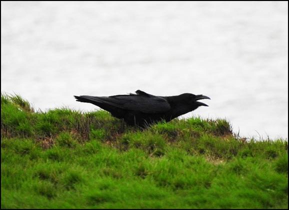 Raven 220220