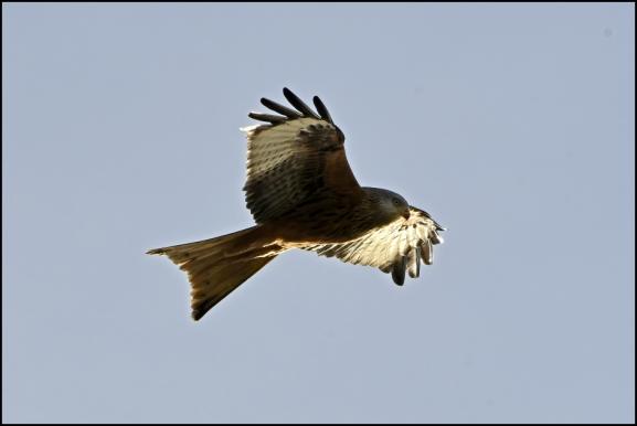 Red Kite 050220