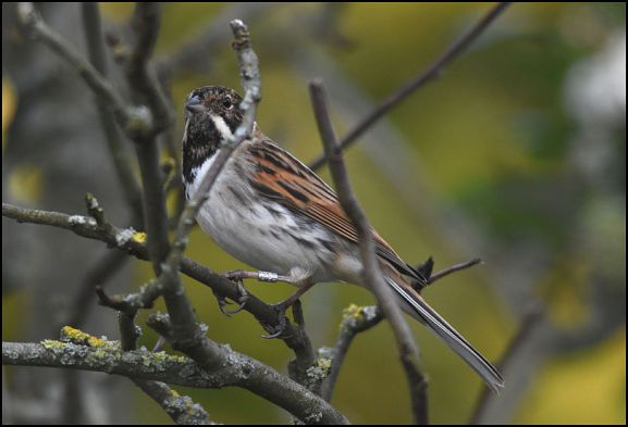 Reed Bunting 080220