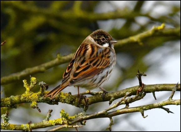 Reed Bunting 180220