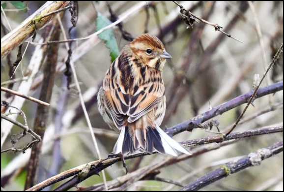 Reed Bunting 310120
