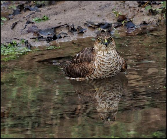 Sparrowhawk 220220