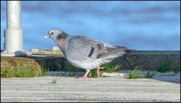 Stock Dove 110220