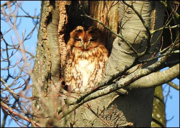 Tawny Owl 060220