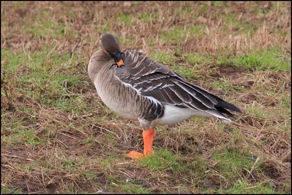 Tundra Bean Goose 020220 2