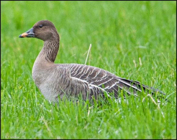 Tundra Bean Goose 030220 2