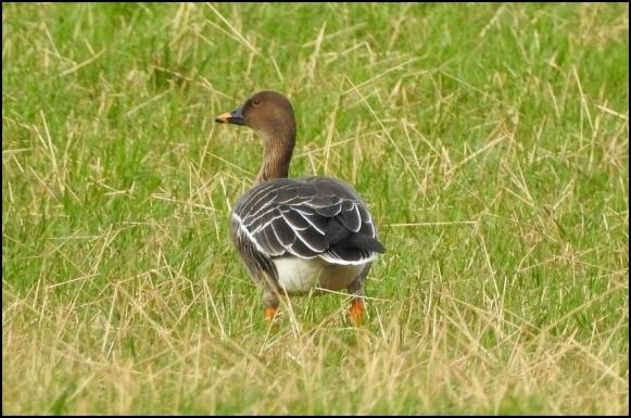 Tundra Bean Goose 030220 4