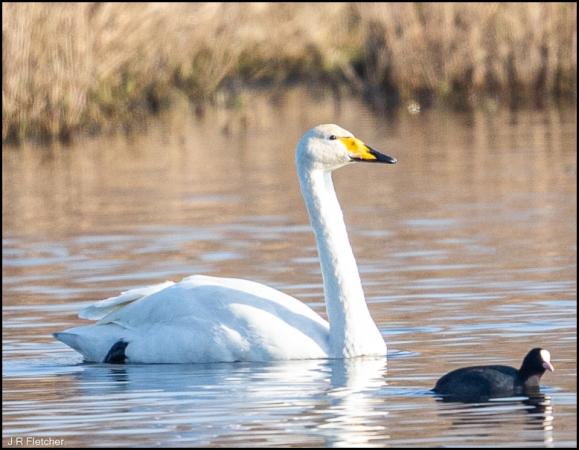 Whooper Swan 060220 1