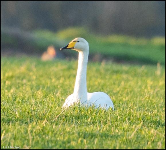 Whooper Swan 060220 2