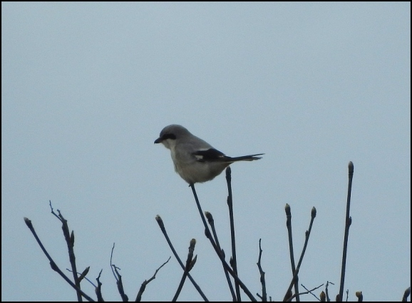 Great Grey Shrike 110320