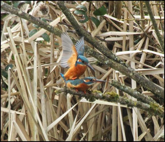 Kingfishers 110320