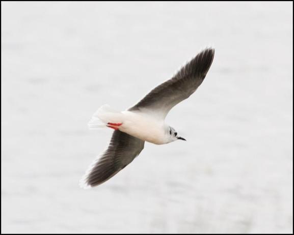 Little Gull 140320 1
