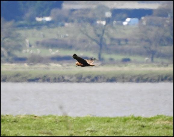 Marsh Harrier 160320