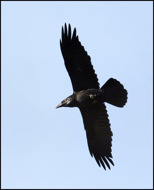 Raven 160320