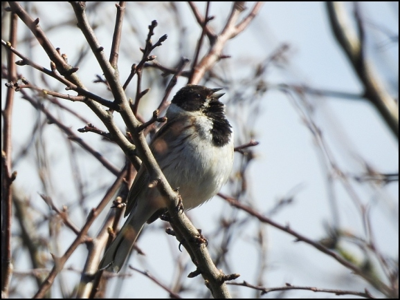Reed Bunting 160320