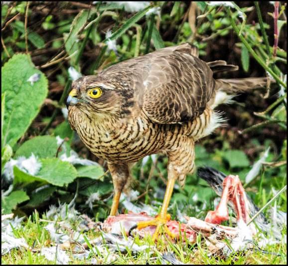 Sparrowhawk 200320