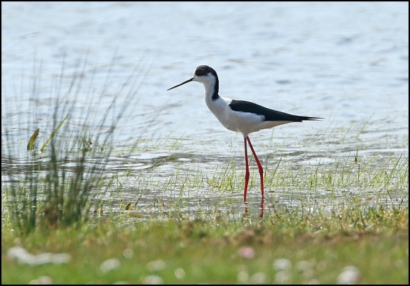Black-winged Stilt 100420 2