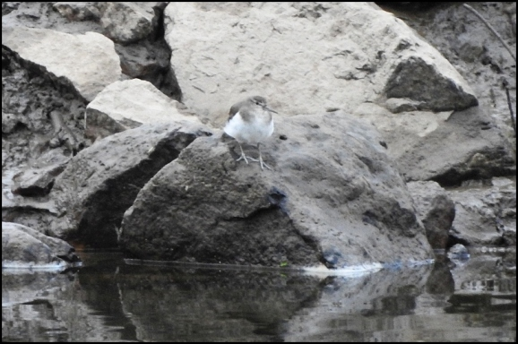 Common Sandpiper 030420