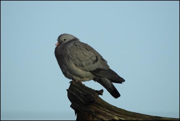 Stock Dove 060420 1