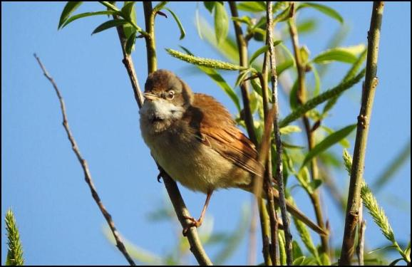 Whitethroat 120420