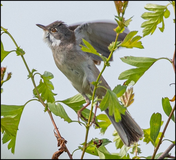 Whitethroat 270420