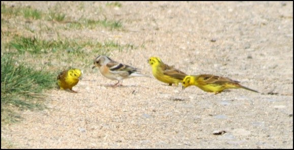 Yellowhammers & Brambling 090420