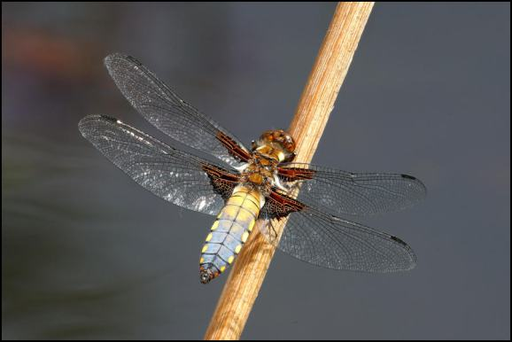 Broad-bodied Chaser 260520