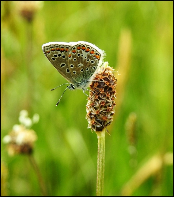 Common Blue 160520