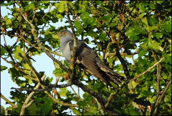 Cuckoo 050520