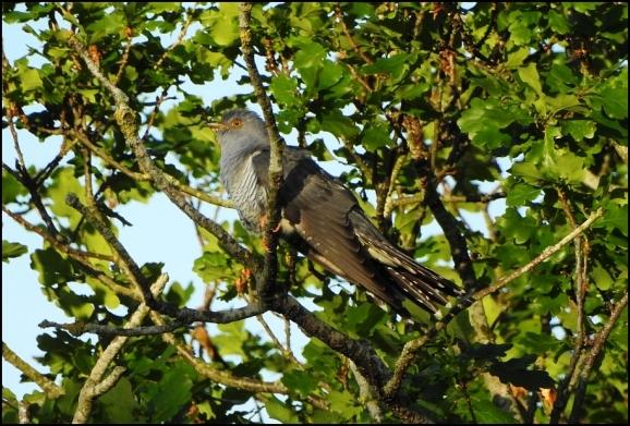Cuckoo 060520