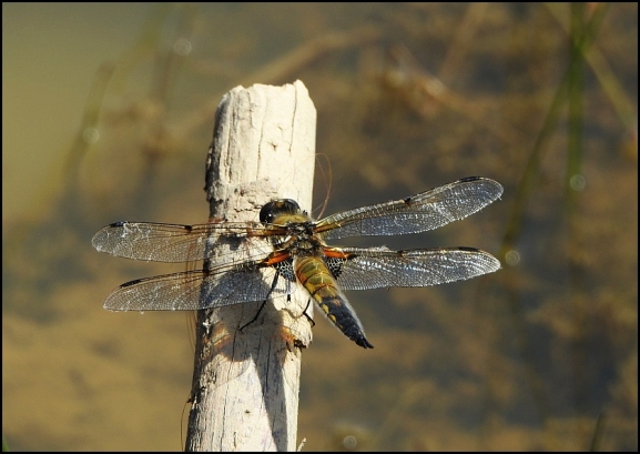 Four-spotted Chaser 210520