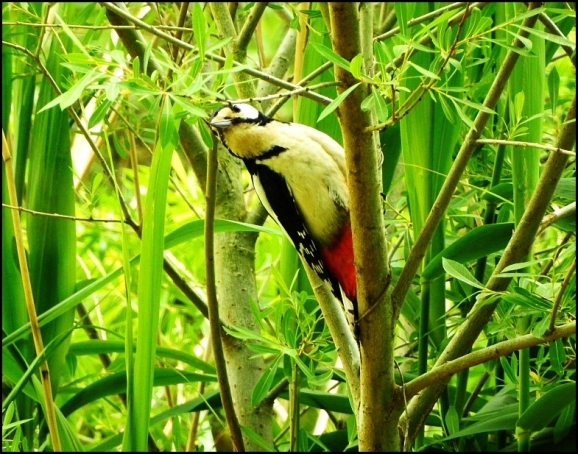 Great Spotted Woodpecker 170520