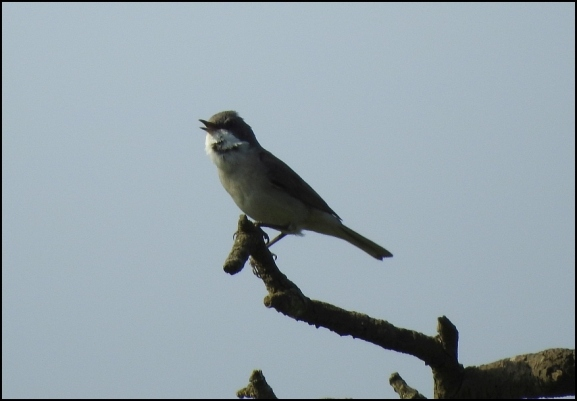 Lesser Whitethroat 040520