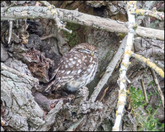 Little Owl 130520