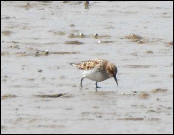 Little Stint 130520