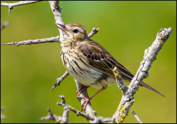 Meadow Pipit 280520