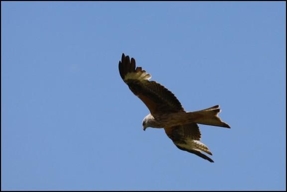 Red Kite 200520