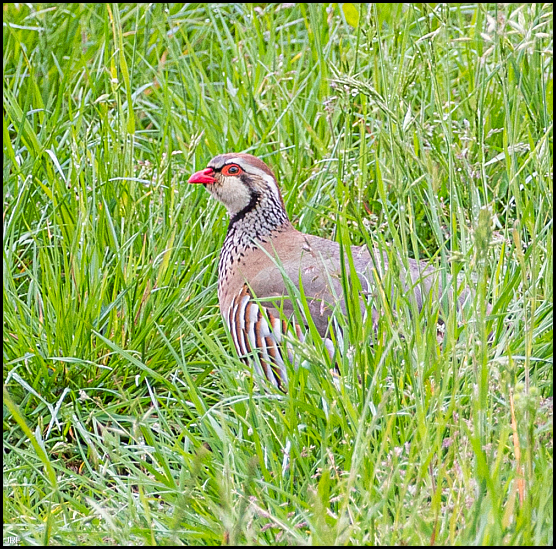 Red-legged Partridge 300420