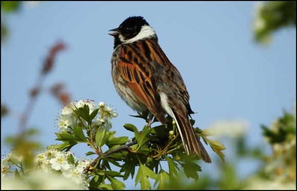 Reed Bunting 070520