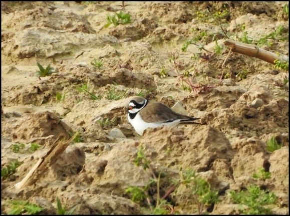 Ringed Plover 050520